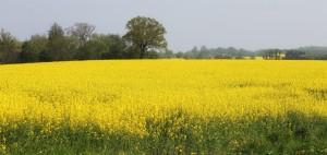 Zauberhafte Landschaft in sonnigen Farben: in Ostholstein blühen die Rapsfelder