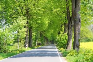 Verträumte Allee am Rapsfeld: links ist ein Fahrradweg für romantische Radler