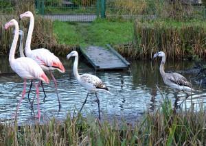 Die kleinen Flamingos tragen noch ihr Jugendgefieder