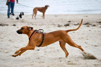Mit voller Geschwindigkeit sprintet dieser Ridgeback über den Strand, denn im Ziel erwartet ihn sein Lieblingsleckerchen. Foto: Katrin Gehrke