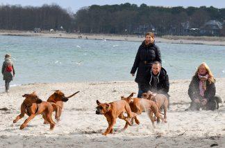 Beim Welpenrennen tobten die vier Monate alten Wurfgeschwister über den Strand. Foto: Katrin Gehrke