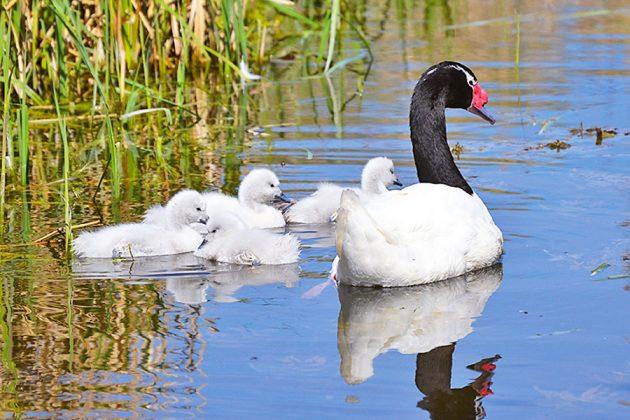 Familienidylle im Niendorfer Vogelpark: Schwarzhals-Schwäne mit Nachwuchs