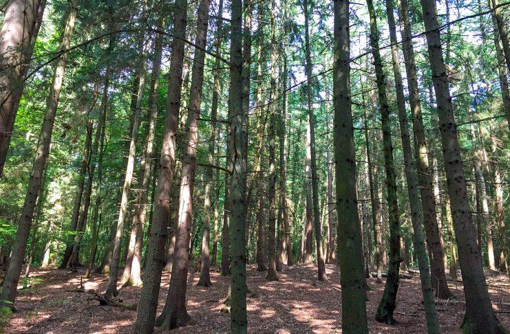 In unseren Fichtenwäldern entdecken wir so manches Geheimnis. Die Tränen der Bäume sind eines davon.