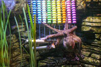 Der Oktopus zählt zu den beliebtesten Einwohnern im Sea Life und erntet immer viel Aufmerksamkeit