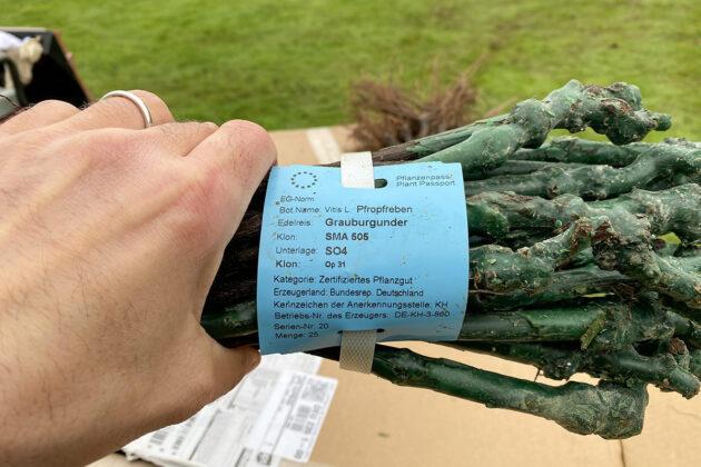 Hier sind die Reben, die jetzt angepflanzt wurden. Insgesamt 5000 Setzlinge sind auf dem Goflplatz angekommen.